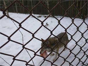 Poika oli jostain syystä päässyt susitarhan verkkoaidan viereen, mistä susi oli onnistunut tarttumaan pojan käteen.