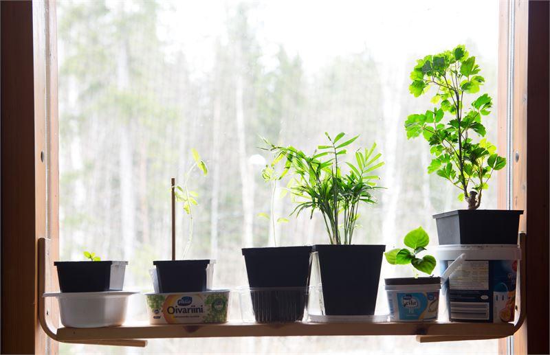 SariFröjdin kotona taimikasvatukseen käytetään ikkunapinta-alan lisäksi myös akvaariota, jossa kasvaa muun muassa kurkumaa, mandariineja, keijunkukkia, murattia ja kultaköynnöstä. Velma-kissa viihtyy kasvilampun virkaa toimittavan vanhan akvaariolampun lämmössä.