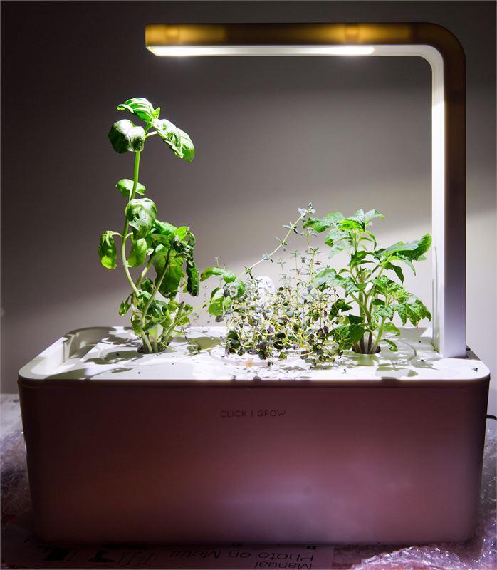 Ikkunalaudalla aikaisin kasvamaan laitetut tomaatintaimet ovat saaneet hieman liikaa pituutta ja odottavat siirtoa korkeampaan ruukkuun. Ahkeraliisa viihtyy huonekasvien joukossa kesää odottaen.