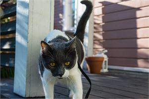 Kissa viihtyy ulkona, ja se tottuu myös valjaisiin, toteaa Kokkolanseudun eläinsuojeluyhdistyksen puheenjohtaja Eliina Näcksund.