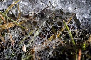 Mätänevät ruohonkorret ja havunneulaset aiheuttavat tyypillistä kevään tuoksua, joka voimistuu lumipeitteen huvetessa.