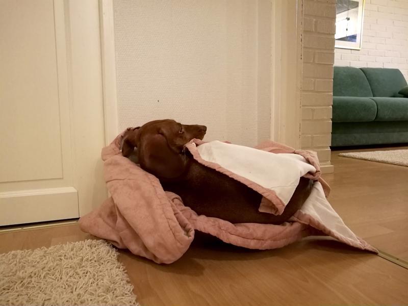 Kooltaan koiran pedin tulisi olla sellainen, että kyljellään maatessaankin koira mahtuu sinne kokonaisuudessaan. Toisinaan pentuajaksi hankittu peti on koiralle niin rakas, että se viihtyy siinä, vaikka ahdasta olisikin.