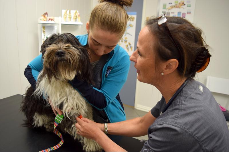 Eläinlääkäri Maria Losvik ja klinikkaeläinhoitaja Renita Karlsson ottavat verinäytteitä terveystarkastukseen, joka on rekisteriin pääsyn edellytyksenä.