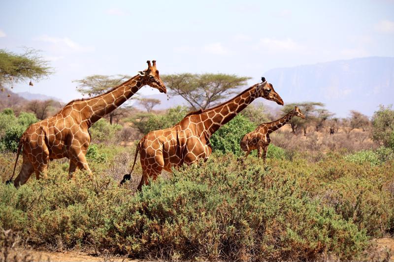 Kirahveja pääsee yleensä aina ihastelemaan Samburun safareilla. Leopardit viihtyvät alueella myös hyvin.