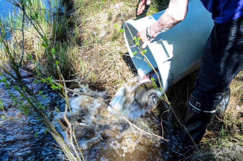 Keskipainolta 1,1 kiloiset kalat kannettiin kala-autosta saaveissa jokeen. Yhteensä keskiviikkona istutettiin Vetelissä 300 kiloa kirjolohta.