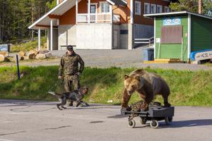 Anssi Sekin Lukan ensimmäinen kohtaaminen karhun kanssa ei ollut isännälle ollenkaan niin iso yllätys kuin koiralle.