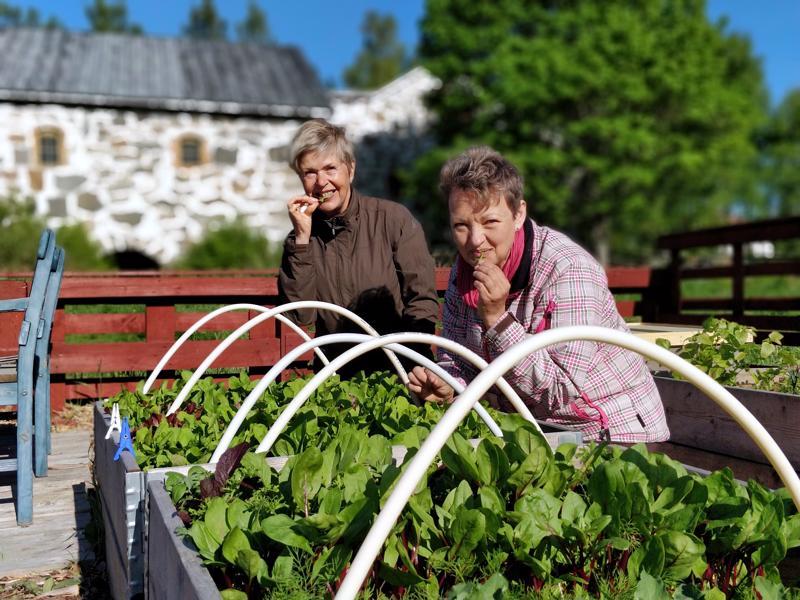 May Nyman ja Aino Tapanainen maistelevat jo salaattia suoraan viljelylaatikosta. Kevät on kirittänyt komeaan kasvuun myös pinaatin, palmukaalin, tillin ja puna-juuren.