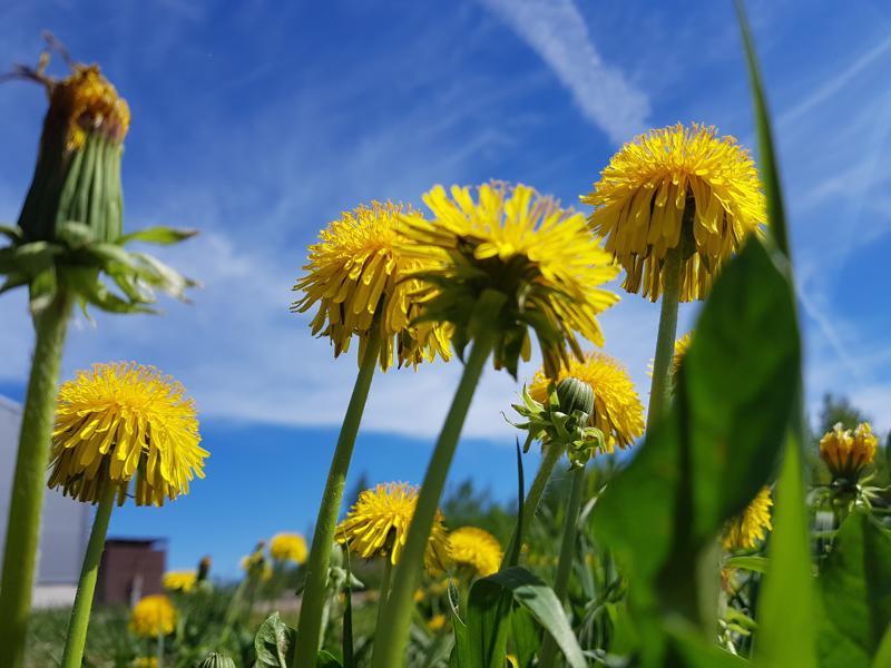 Hortoilu on helpointa aloittaa tutuista, yleisesti esiintyvistä kasveista.