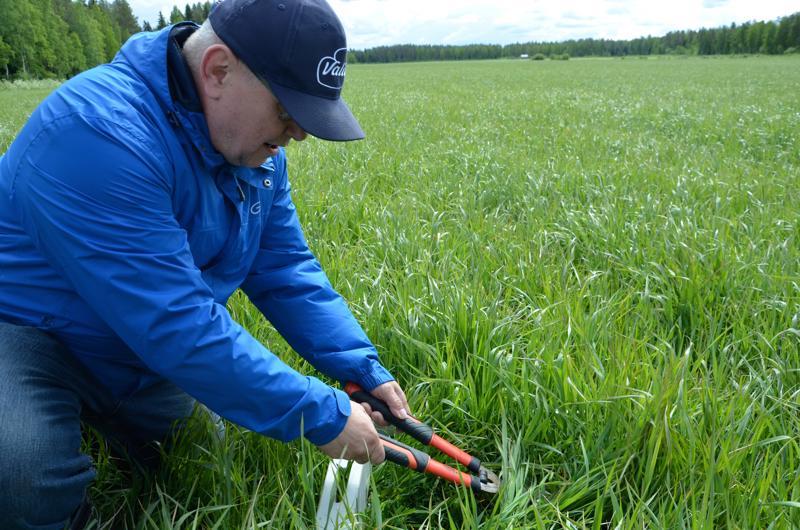 Kovin on säilörehunurmi vielä lyhyttä, arvioi tuotantoneuvoja Jari Korva. Paras korjuuaika useimmilla peltolohkoilla ajoittuu tämän viikon lopulle.