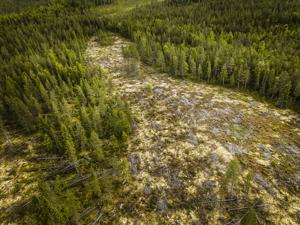 Avohakkuukieltoa valtion metsiin ajava kansalaisaloite on kerännyt jo yli 36000 allekirjoittajaa. Tässä kuvassa on viisi vuotta sitten avohakattu viiden hehtaarin metsäkuvio Rovaniemeltä.