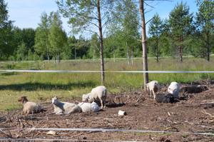 Sievin kunta teki lammastilan kanssa sopimuksen maisemanhoidosta laiduntamalla.