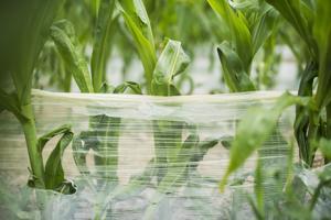 Kalvokate suojaa maissia kevään hallaöiltä ja jouduttaa merkittävästi kasvuunlähtöä.