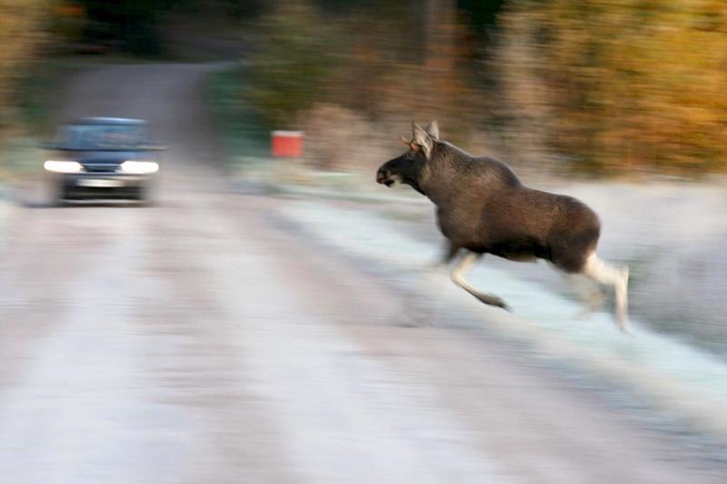 Riistakeskus haluaa vähentää hirvien esiintymistiheyttä Oulun seudulla.