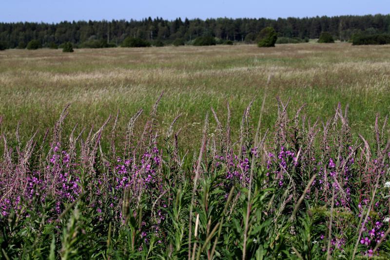 Tällaista kesannolla olevaa peltoa riittää Karjalan tasavallassa silmänkantamattomiin. Valtio vuokraa maata, mutta pyytää siitä asukkaiden mielestä liian kovaa hintaa.