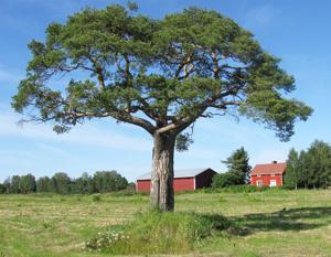 Rauhoitettu Kotirannan mänty hallitsee peltoaukion maisemaa Ahteella.