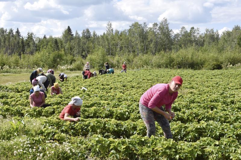 Kaksikymmentä ukrainalaista poimijaa työskentelee ja asuu kesän Marinkaisissa.