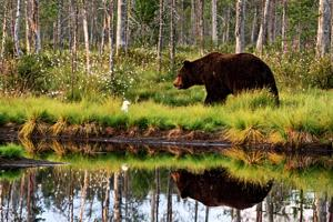 Perhonjokilaaksoon saatiin poikkeusluvat kolmen karhun kaatoon. Keski-Pohjanmaalle lupia myönnettiin yhteensä seitsemän.