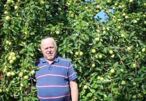 Veteliläisen Pentti Saaren pihan omenapuu on lajikkeeltaan Valkeakuulas. Puun omenasato on tänä syksynä ennätyksellinen.