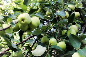 Omenan kukinta onnistui keväällä hyvin.