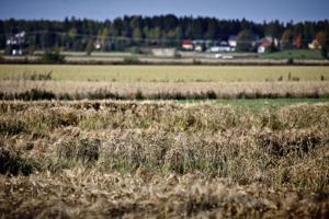 Ruotsi on jo myöntänyt 120 miljoonan tukipaketin hädässä oleville viljelijöille. Tuottajajärjestö MTK:n puheenjohtaja Juha Marttilan mukaan samaa suuruusluokkaa potin tulisi olla myös Suomessa.