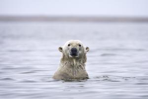 Ilmaston lämpeneminen uhkaa arktista aluetta. Muutokset voivat olla kohtalokkaita alueen eläimille.