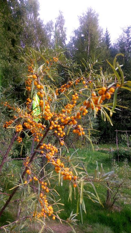 Saariston vitamiini hehkuu Dolly ja Sven-Erik Sundströmin puutarhassa.