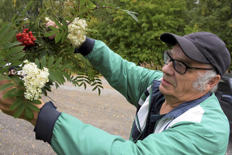 Taitaa olla kuuman kesän peruja tämä ilmiö, Esko Sillanpää arvelee nähdessään ensi kertaa pihlajassa kukat ja marjat samaan aikaan.
