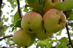 Kotipuutarhoilla omenasatoa on jonkin verran verottanut tänä vuonna pihlajanmarjakoi.