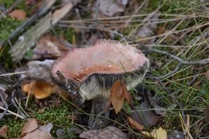 Syömäkelvoton. Kuvan sieni on kangashapero, joka vielä noin viikko sitten olisi ollut herkullinen ruokasieni.