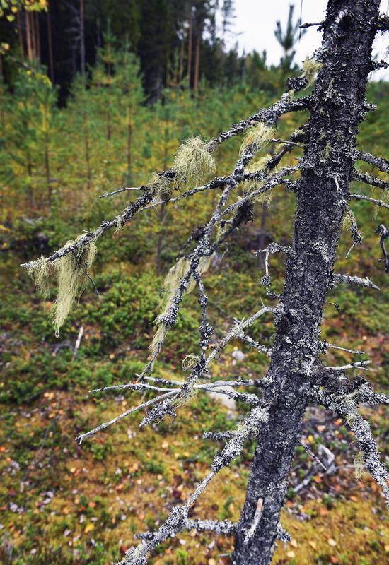 Naavan kasvu puihin kertoo, että ilma on puhdasta.