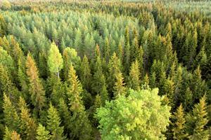 Useita metsäehdokkaita Keski-Pohjanmaalta on käyty jo tarkistamassa mahdolliseksi luonnonsuojelualueeksi.