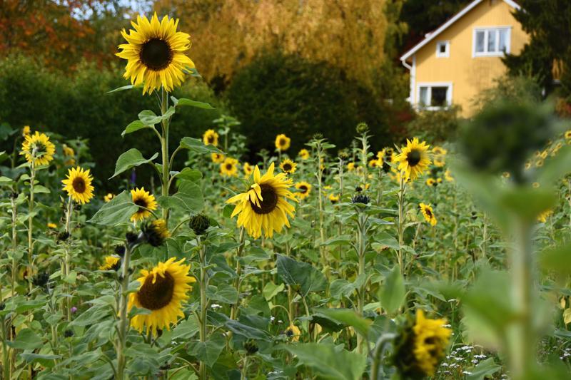 Laurinpellolle kirjaston alapuolelle on kylvetty auringonkukkaa. Nyt pelto hohtaa keltaisena vaikka nuppujakin vielä on. Kukkia saa käydä poimimassa omaksi ja ystävien iloksi.