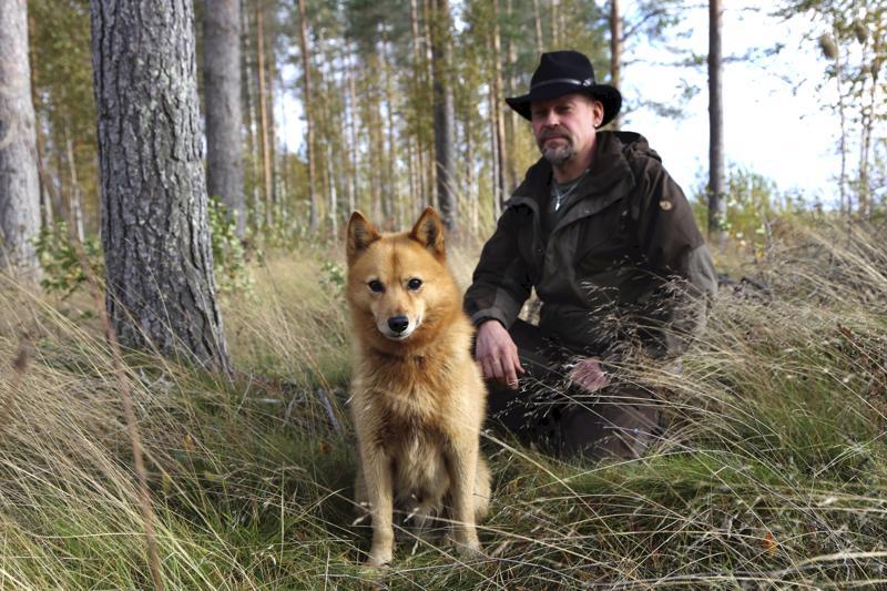 Petri Siirosen Viki osallistui suomenpystykorvien lintuhaukkukokeeseen.