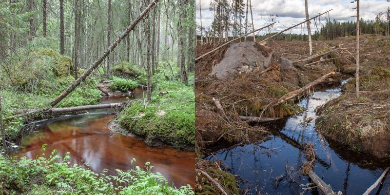Ammattiluontovalokuvaaja Ari-Matti Nikula muisti kuvanneensa seurakunnan metsän puron vartta takavuosina ja yritti hakatusta maastosta löytää samat kuvakulmat.