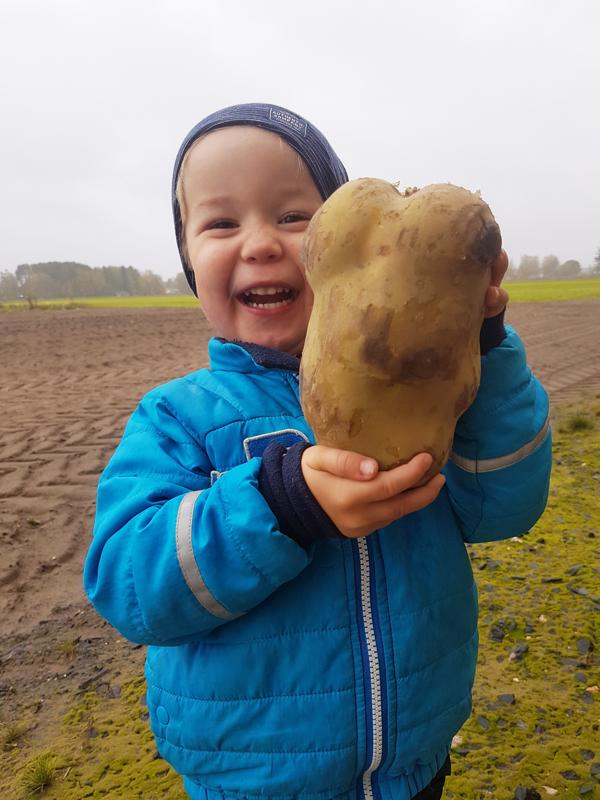 3-vuotias Teo Mäkelä sai ihmetellä isän pellosta noussutta jättiperunaa.