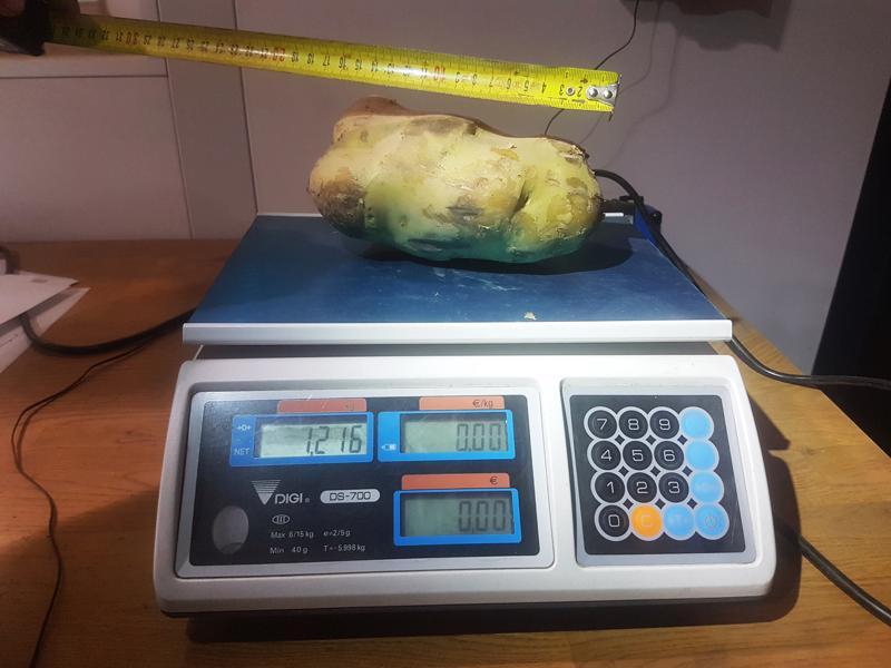 Mäkelän perunatilalla Himangalla kasvoi 1,216 kiloa painava peruna.