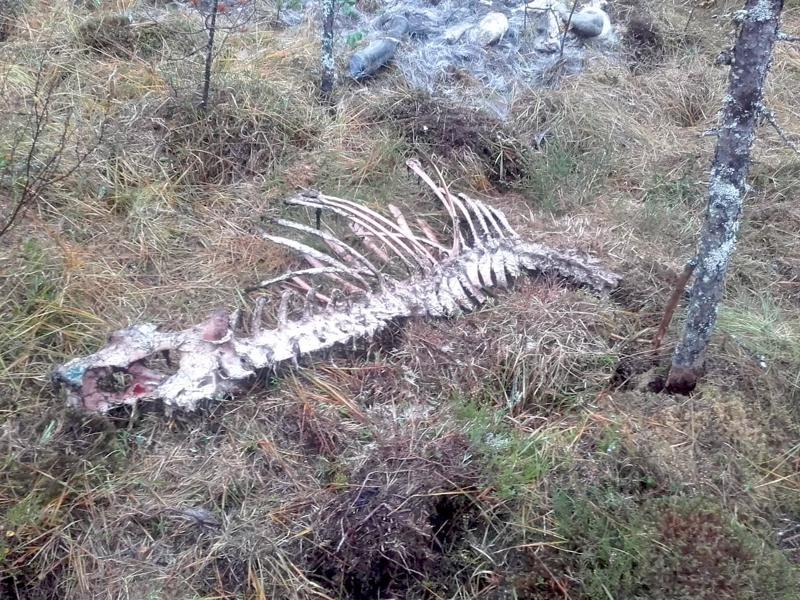 Susilauma kaatoi Ylivieskan Raudaskylässä 10.  syyskuuta hirven, viikon päästä raadosta oli enää tämän verran jäljellä.