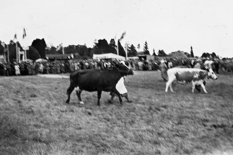 Näyttelyyn osallistui 58 nautaa, muun muassa Vieno Aakon omistama Pusan Sievikki oli vuonna 1943 syntynyt suomen karjan lehmä.