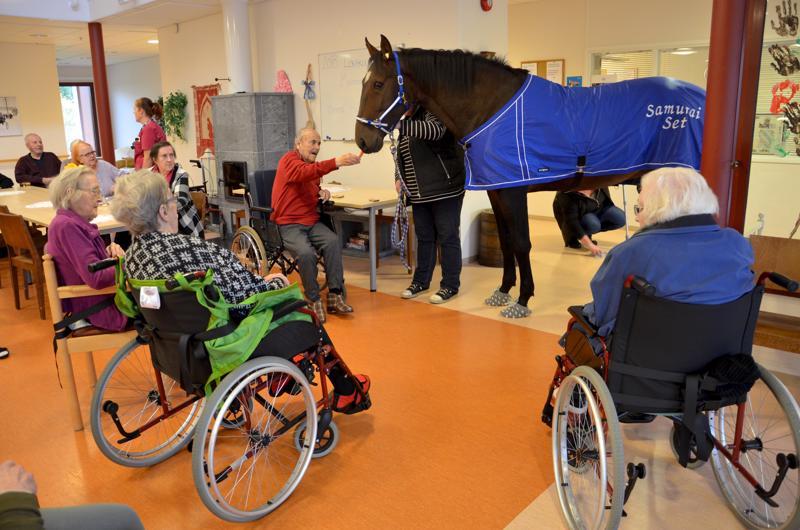 Samu-hevonen vieraili Kaustisella Iltaruskon palvelukeskuksessa maanantaina. Lämminveriselle maistui porkkana.