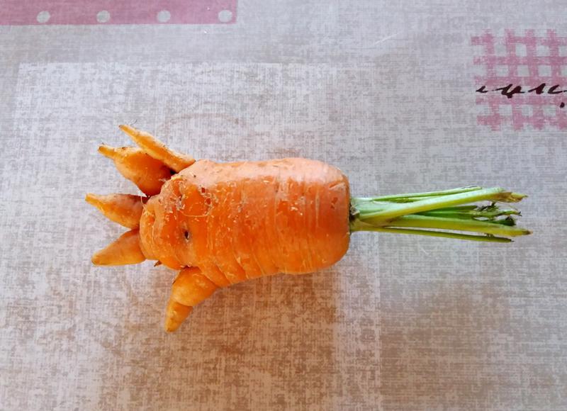 Sirkka Aution kasvimaalta Kärsämäen Sydänmaankylässä löytyi tämä veikeä, kädenmuotoinen porkkana.