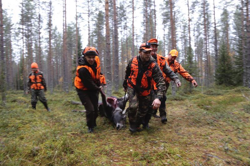 Mikko Fiskaali, Rami Hietaniemi, Matti Honkonen ja Arttu Kivelä vetävät kaadettua hirvenvasaa pois metsästä.