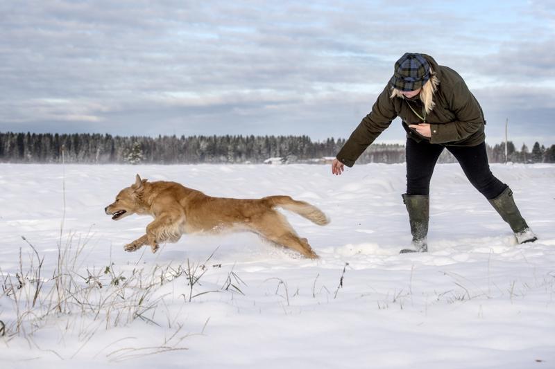Lähtöluvan saatuaan Riepu syöksyy noutamaan. Leena Kangas-Järviluoman omistama Goldgingers Ptarmigan on 8,5-vuotias kultainennoutaja.
