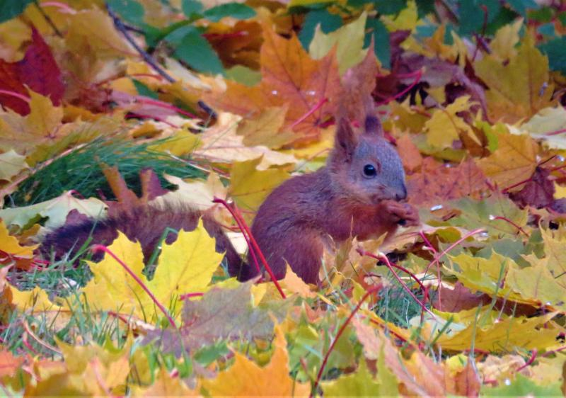 Oravanpoikanen ja syksyn lehdet. Kuva: Jaana Mäkelä.