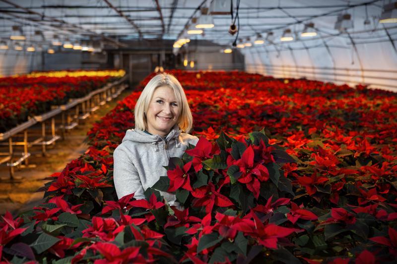 Lindell Flowersin Heidi Kivilompolon mukaan kysytyin kukka on perinteinen joulunpunainen joulutähti. -Valkoista joulutähteä kysytään enemmän itsenäisyyspäivän tienoilla, mutta joulun lähestyessä halutuin on punainen.