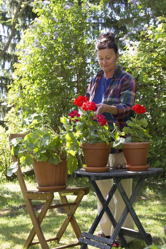 Kälyn pelargonit saavat hyvää huolenpitoa Eeva-Maija Haukiselta silloin, kun tämä on käymässä lapsuudenkodin maisemissa.