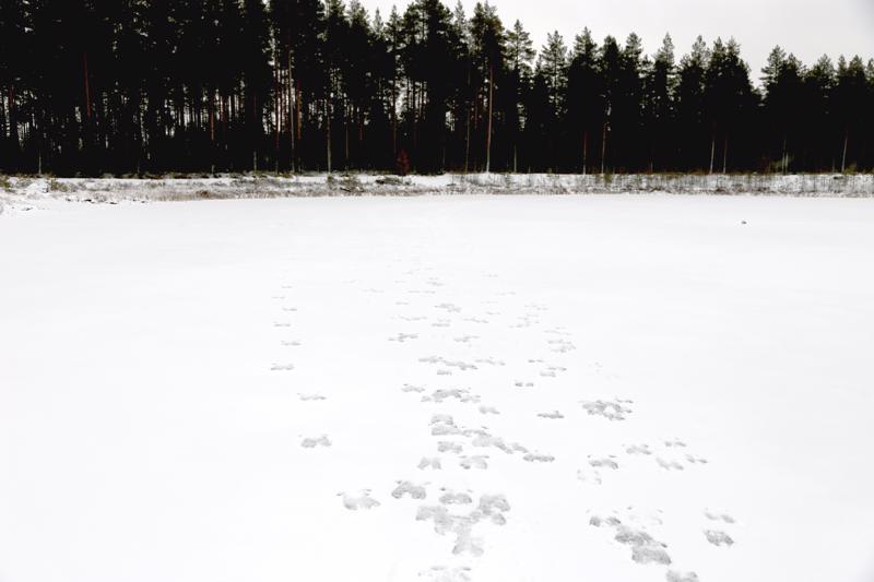 Sulkaharjun sorakuopan jääpeite ei jäljistä päätellen pettänyt peurojen alta. Pulkkisessa valtatien tuntumassa laiduntava peuralauma on syytä pitää mielessä ajaessa.
