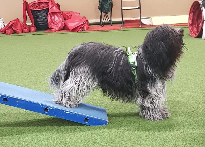 Schapendois-rotuinen Owe on innokas kilpailija. Saana-Lotta Korkala harjoittelee Owen kanssa SM-kilpailuja varten.