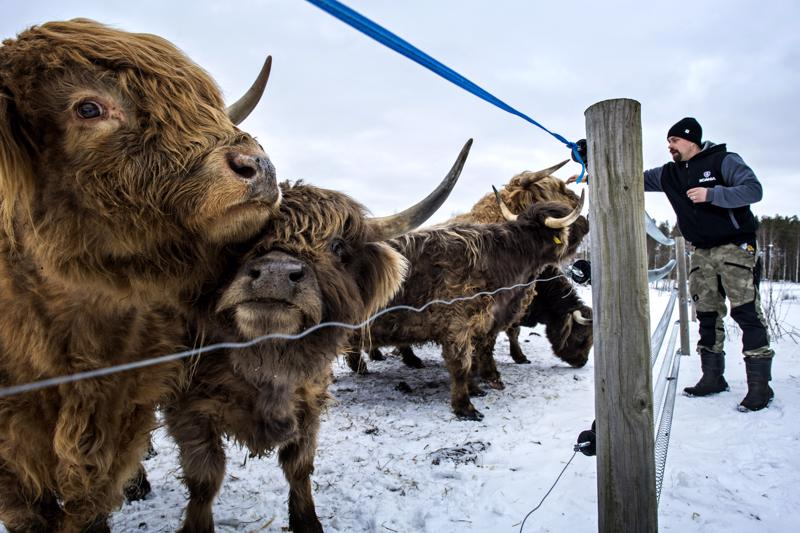 Monroe-sonnin tervät sarvet eivät riitä susilta puolustautumiseen, vaan ylämaankarjalauman suojaksi tarvittiin tiheä sähköaita. Aiemmin sudet raatelivat tilalta yhden vasikan ja lampaita, Mikko Hotakainen kertoo.