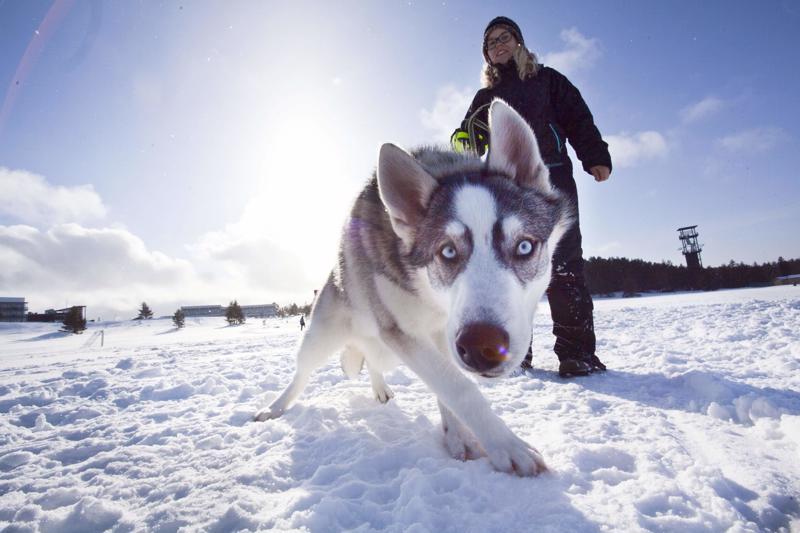 Heli Rautio kertoo, että huskypentu Soturi ei ollut vielä valmis koiravaljakkoajeluihin.