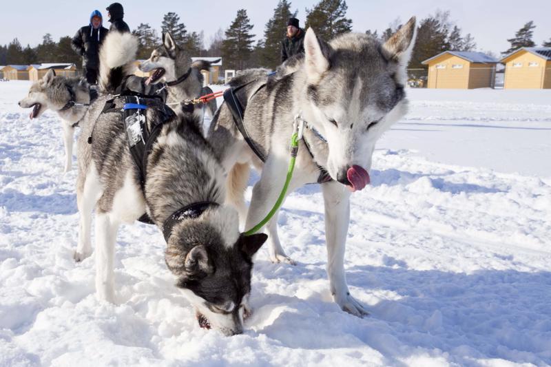 Koiravaljakon huskyt virkistyivät haukkaamalla vähän lunta ajojen välissä.